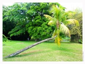 Cocotier (typique des Seychelles)