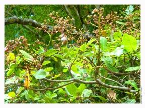 Anacardier (noix de cajou)